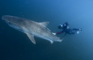 fred buyle freediving with a 4m tiger shark in south africa